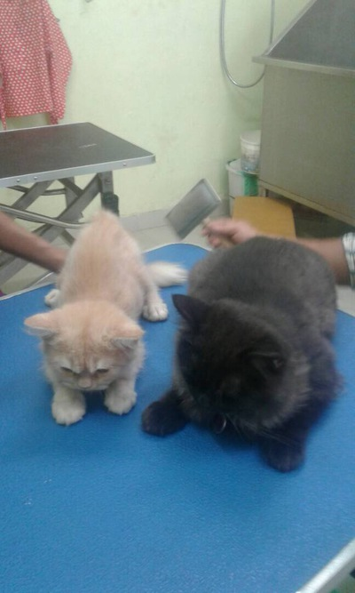 Adult female persian cat and male himalayan cat for sale at rs 16000