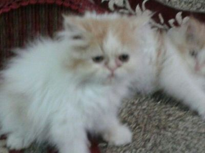 SEMI PUNCHED PERSIAN KITTENS