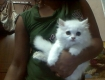 PERSIAN CAT FOR SALE  - 1