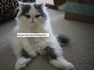 Semi Punch Face Persian Kitten In all Colours  - 1