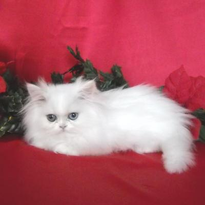Exquisite and Excellent Teacup Persian Kittens for sale  - 1