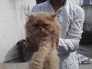PERSIAN KITTENS FOR SALE.........