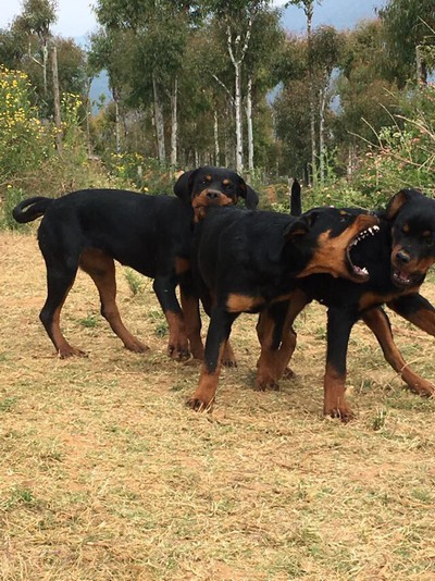 Rottweiler puppies for sale  - 1