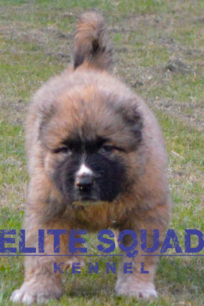 Caucasian Shepherd MALE PUPPY for SALE