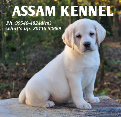 Assam Kennel / KCI Registered Dog puppies