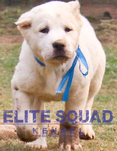 Central Asian Shepherd puppies for sale  - 1