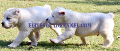 Central Asian Ovcharka puppies  for Sale