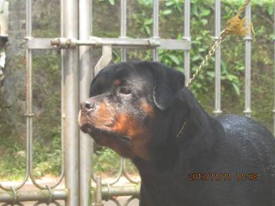 rottweiler female (importe line) for sale cont 9947161902