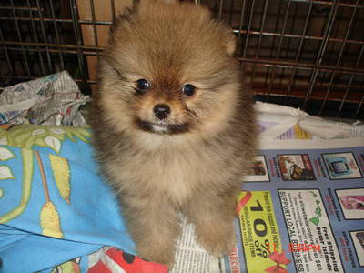 adorable show quality POMERANIAN puppies for sale.trust kennel 09