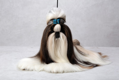 adorable show quality SHIHTZU puppies for sale.trust kennel   - 1