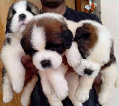 saint Bernard pups available from Champion UK lines 7 males & 2 female