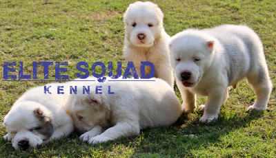 Central Asian Ovcharka / ALABAI puppies for Sale  - 1