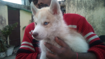 show quality husky pups for sale