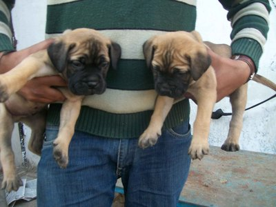 kci regd bullmastiff puppies for sale in Kerala import pedigree