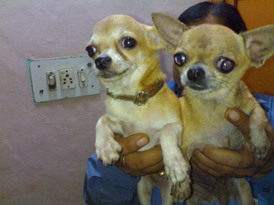 IMPORTER & BREEDERS OF VARIOUS REAR DOG BREED PUPS. WITH PAPERS.  - 1