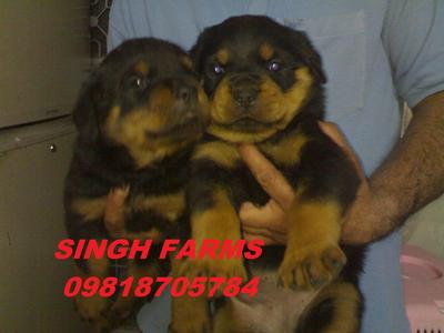 ROTTWEILER PUPS FOR SALE.IMPORT CHAMPION PARENTAGE.KCI PAPERS.  - 1