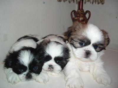 SHIH TZU PUPS FOR SALE.IMPORT PARENTS. ULTIMATE QTY. KCI PAPERS.