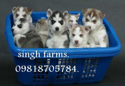 Siberian Husky pups for sale.Import champion parentage. kci papers . - 1