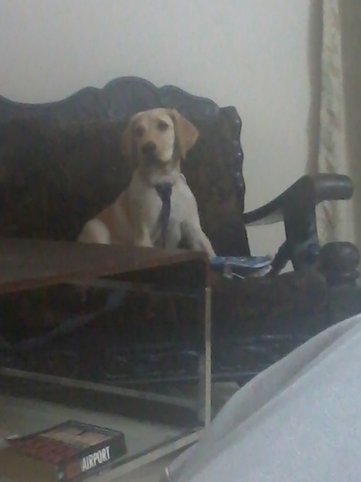 Available male  labrador  for free adoption age 7 month  - 1