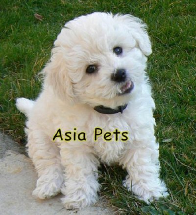 BICHON FRISE PUPPIES FOR SALE ARYAN KENNEL