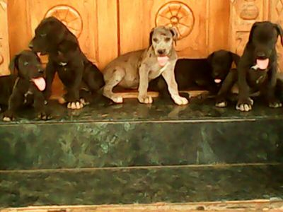 GREAT DANE PUPPIES FOR SALE  - 1