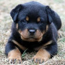 Rottwieller Puppies for sale with Papers and Microchip 9739365509,  - 1
