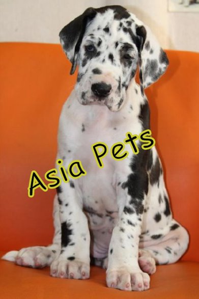 HARLEQUIN GREAT DANE    Puppies  For Sale  ® 9911293906   - 1
