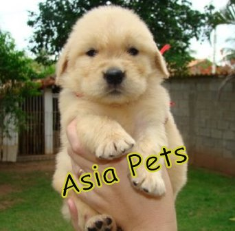 GOLDEN RETRIEVER   Puppies  For Sale  ® 9911293906   - 1