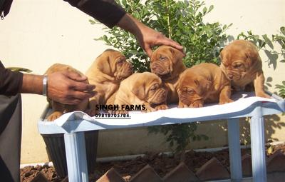 French mastiff pups for sale.Import champion lines.kci papers.