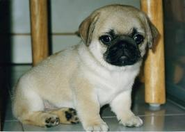 PUG FOR SALE BEAUTIFUL GENUINE