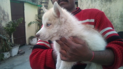 excellent quality husky pups for sale  - 1