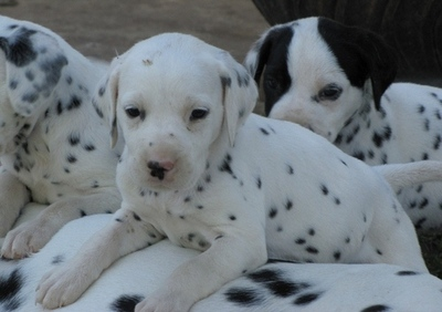 DALMATIAN PUPPIES FOR SALE  @ ANSHUKENNEL,,,  - 1