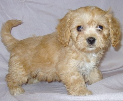 LHASA APSO  PUPPIES FOR SALE  @ ANSHUKENNEL  - 1
