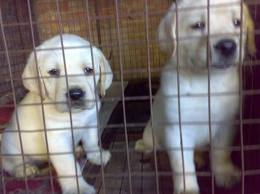 i want to sell my Labrador puppies