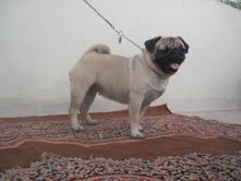 Pug pups for sale 9334004956  - 1