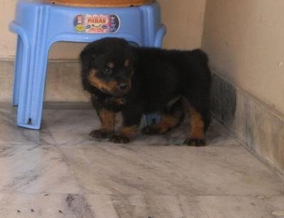 Box Face Rott Pup For Sale