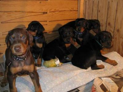Amacing Wonderful  doberman pup for sale