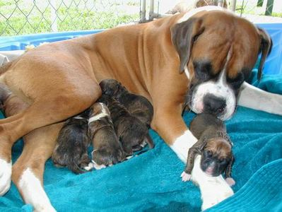 brindle colour boxer pup for sale