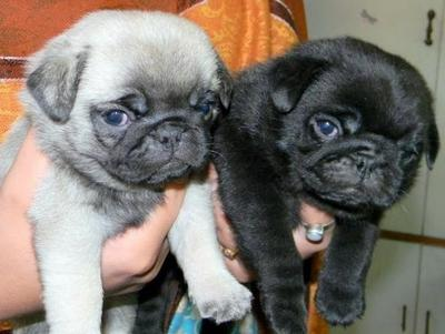 SMALLEST AMOUNT PUG  PUPPIES FOR SALE IN TESTIFY KENNEL  - 1