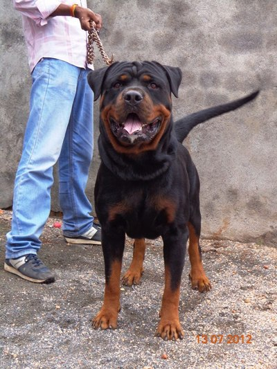 ROTTWEILER sired by in.ch rott for STUD  - 1