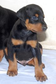 Dober pup for sale   - 1