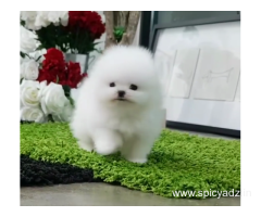 Top quality Pomeranian  pups for sale