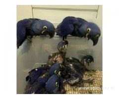 African grey,macaw, and fresh tested parrot eggs for sale