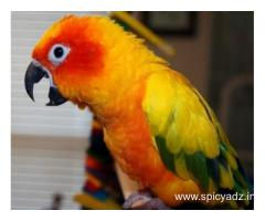 Yellow sided, pineapple, & green cheek conures for sale