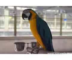 parrots and fertile parrot eggs for sale (972)843-1704