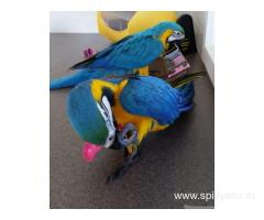 Males and Females Amazing Hyacinth Macaws Parrots Available For Sale