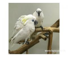 Grey parrots , Macaw , Amazon , cockatoo and fertile eggs for sale(whatsapp +447424514820