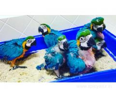 Hand Tamed Parrots And Fertile Parrot Eggs Available (whatsapp  +447424514820