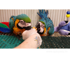 Hand reared baby macaw blue and gold Whatsapp....... +12168161403