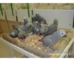 African Grey parrots , Macaw , Amazon , cockatoo and fertile eggs for sale - Chaibasa
